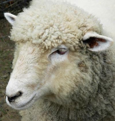 קיבה עם לב של כבש