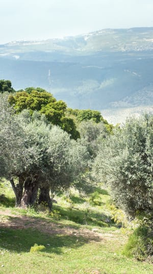 עצי זית בהר תבור. ShutterStock