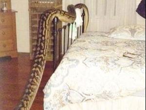 אישה מאוסטרליה גילתה שנחש עצום מימדים חי בביתה. Trina Hibberd, צילום מסך