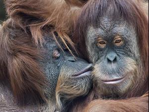 קופים מתנשקים. ShutterStock