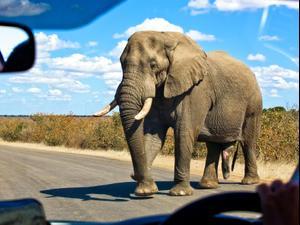 פיל, פארק קרוגר, דרום אפריקה. ShutterStock