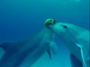 דולפינים משחקים עם דג אבו נפחא. BBC, אתר רשמי