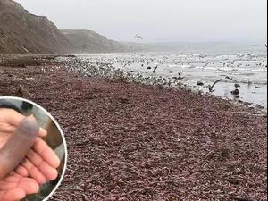 מאות יצורים דמויי איברי מין גבריים בחוף בקליפורניה. צילום מסך