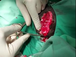 הקופה נול עוברת ניתוח להוצאת רסיס שפגע בעמוד השדרה שלה  15.5.21. דוברות הספארי, באדיבות המצולמים