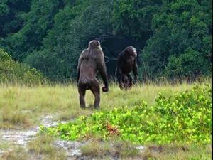 שני שימפנזים בוגרים. © LCP, Lara M. Southern, אתר רשמי