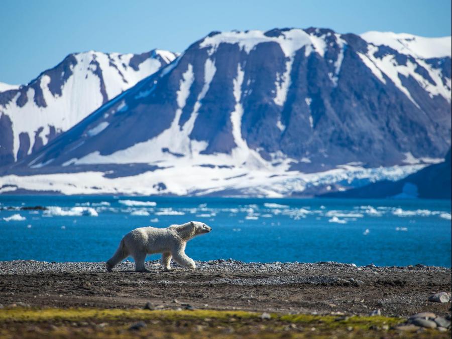 דב קוטב בקוטב הדרומי. ShutterStock