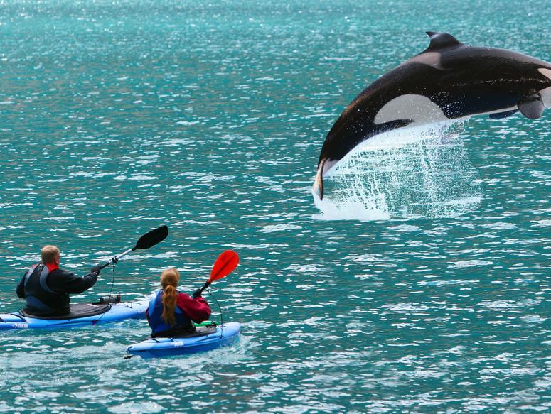 סופרת ואומרת שלום: מדענים הצליחו ללמד לוויתנית
