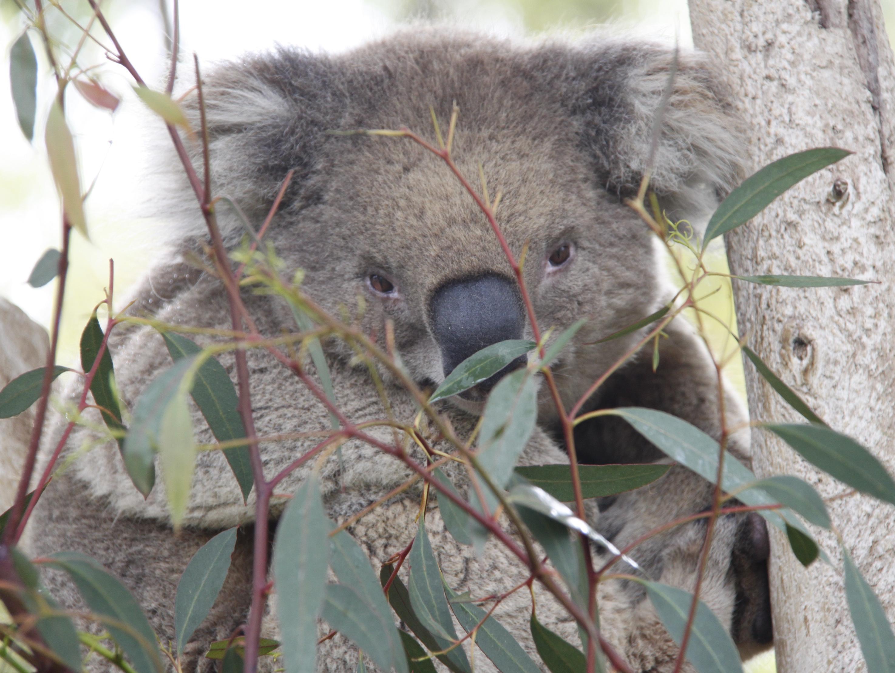 הקוואלה האחרון בישראל: מיילו מגן החיות האוסטרלי מת בגיל 14