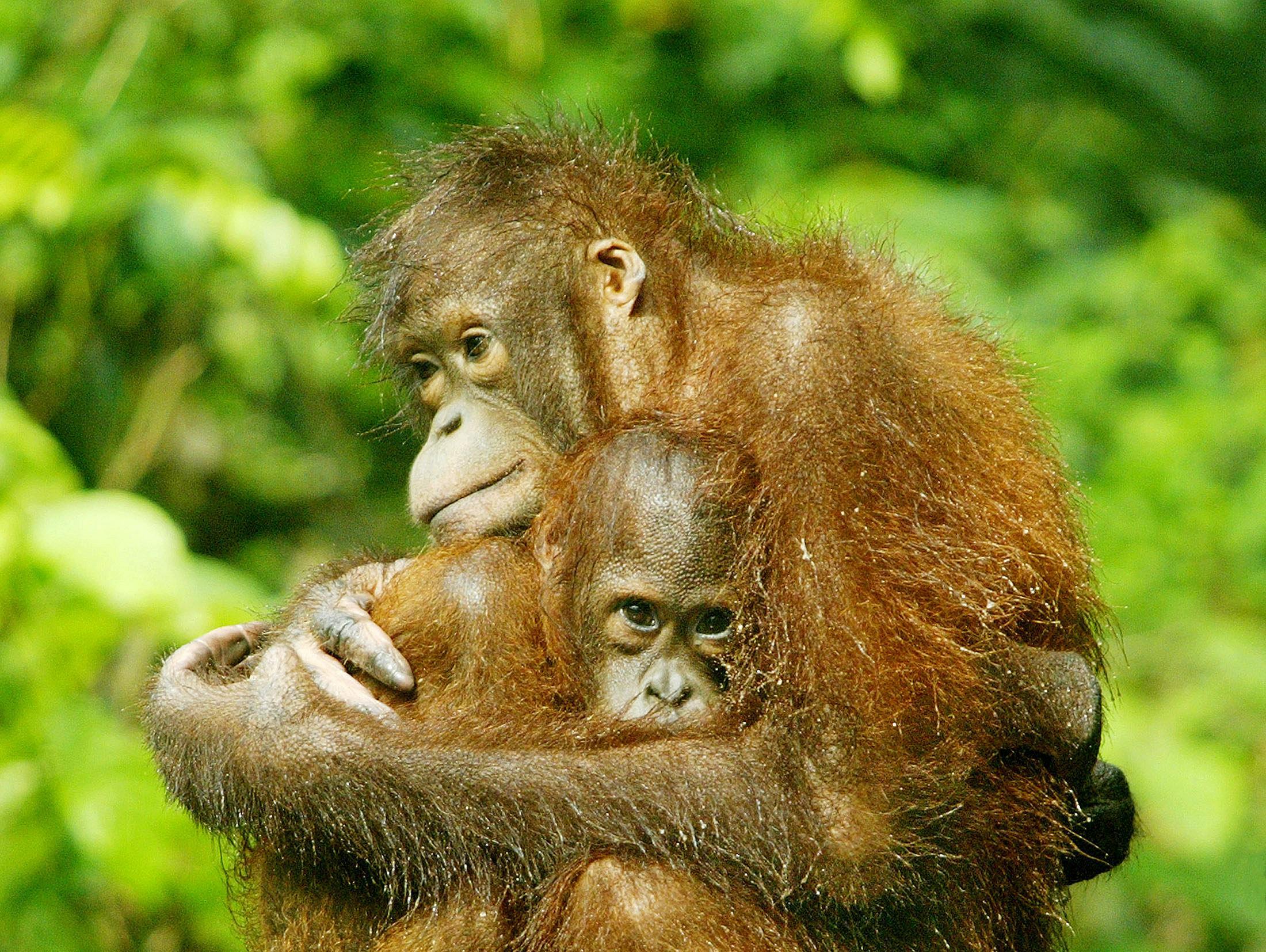 ירי המוני ועריפת ראש: כך מושמדת אוכלוסיית האורנגאוטנים