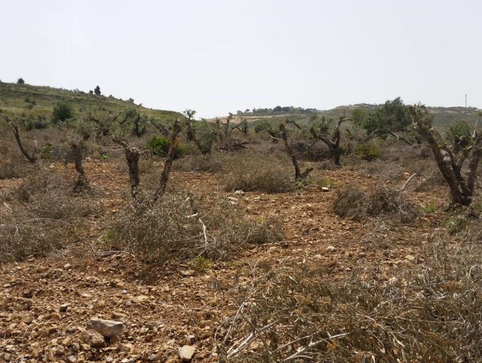 מקרה חמישי של תג מחיר תוך שבוע: עשרות עצי זית נכרתו ליד שכם