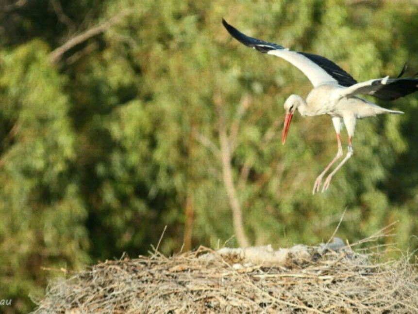 מחזה יוצא דופן: חסידה לבנה תועדה מקננת בעמק בית שאן