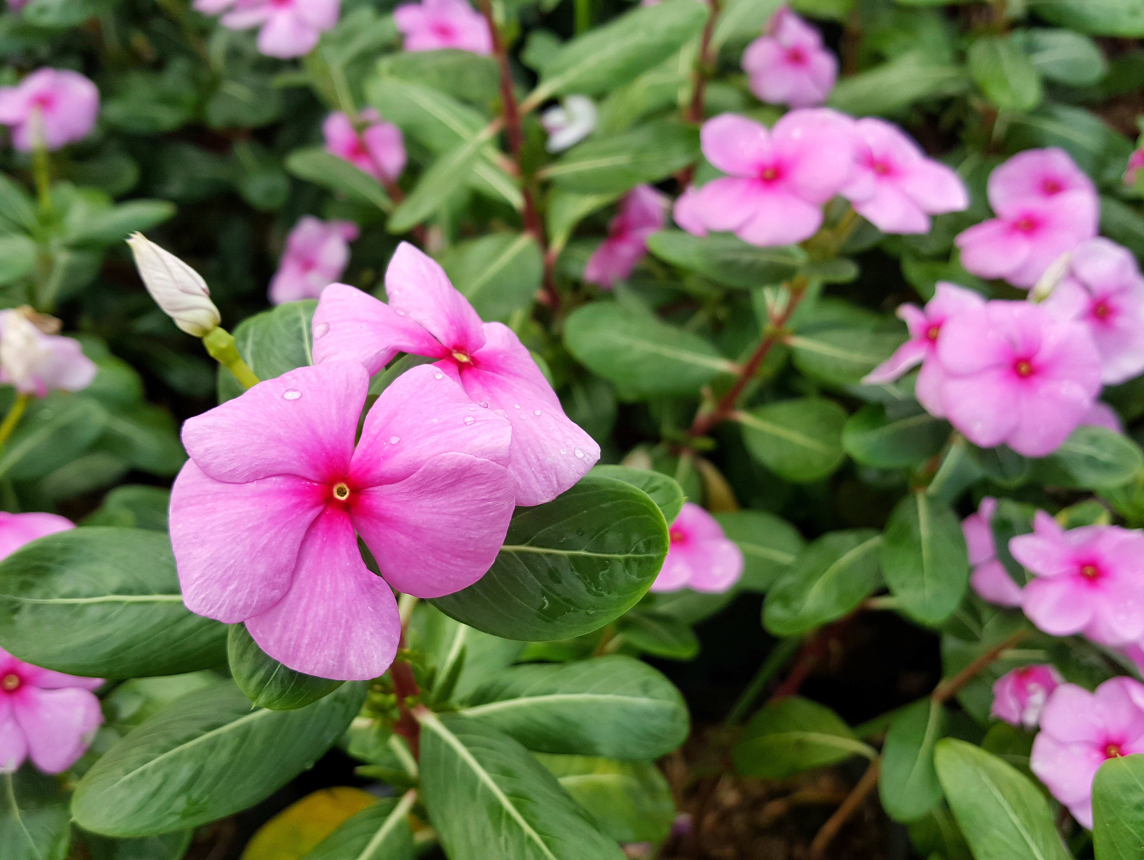 הפרח הפופולרי שכולכם מכירים משמש כתרופה נגד סרטן
