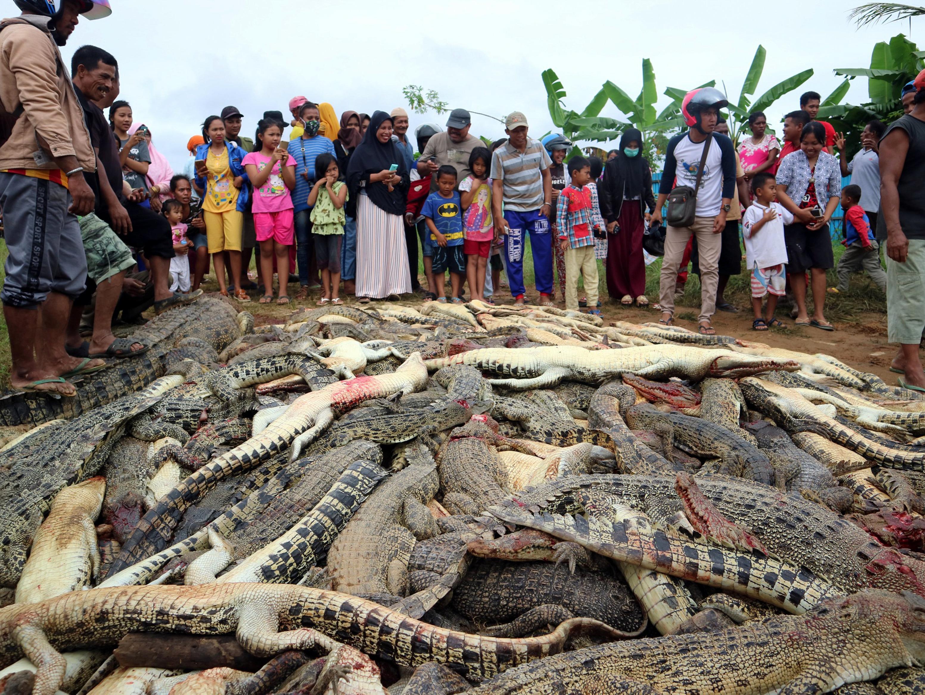 אינדונזיה: תושבים שחטו כ-300 תנינים - כנקמה על מות חברם