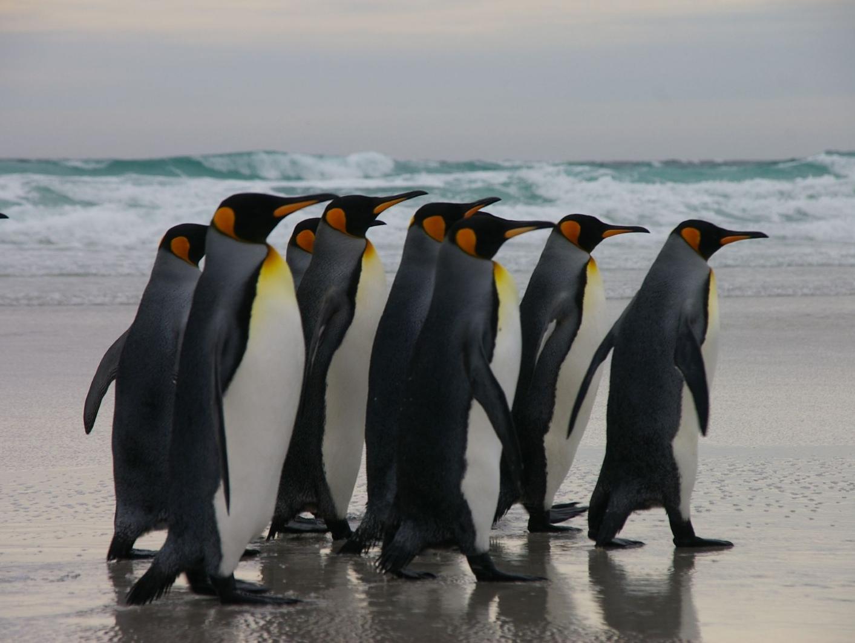 הכחדה מסתורית של מאות אלפי פינגווינים מדאיגה את החוקרים