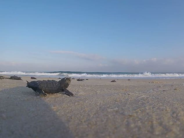 יוצאים אל האור: צבי הים בדרכם הראשונה אל המים בחוף ניצנים