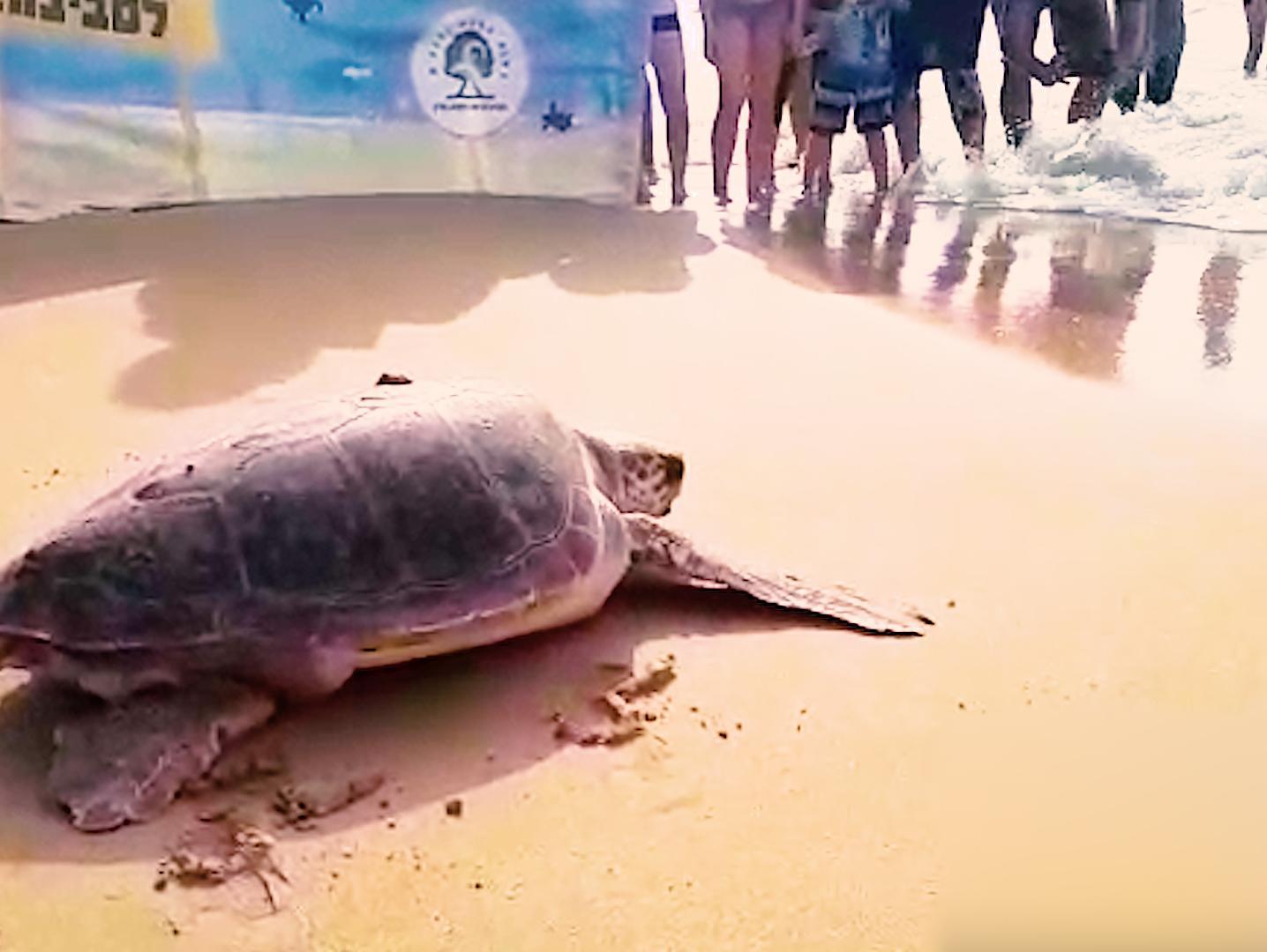 קרסי דיג בעיכול, נמק בגפיים וטיפול נמרץ: הטרגדיה של צבי הים בישראל