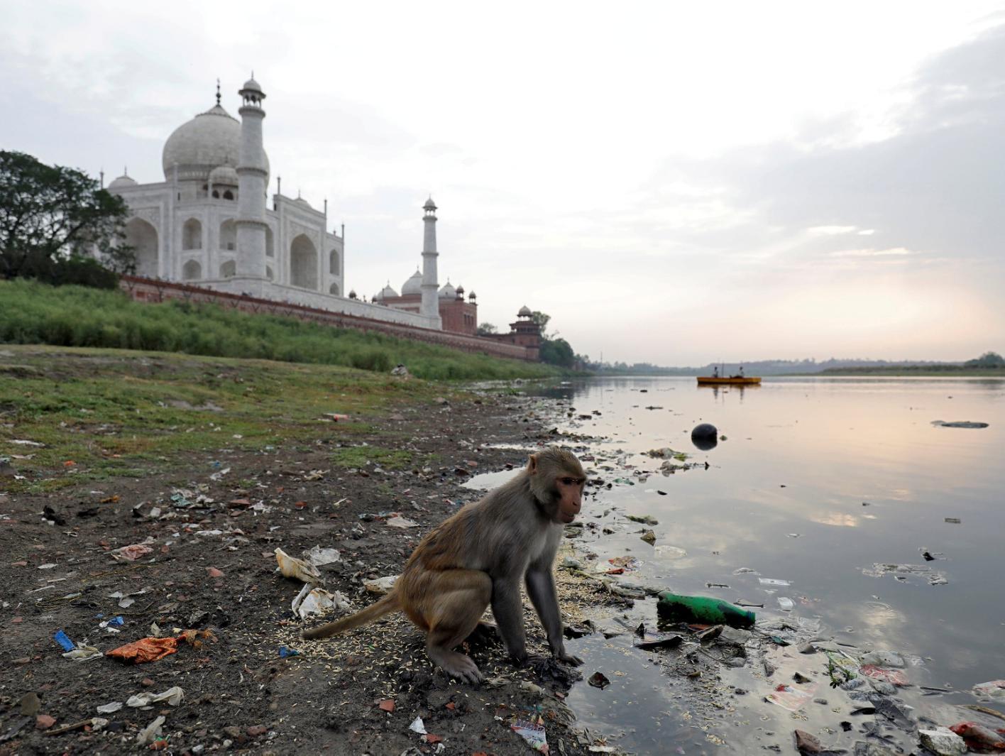 הודו: תינוק בן 12 יום נחטף על ידי קוף - ומת