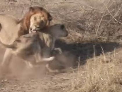 מה קרה כשהאריה הפריע ללביאה לצוד? צפו בתיעוד המרתק