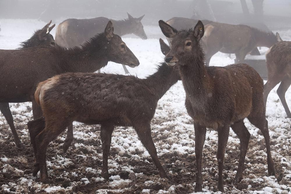 איילים בשלג בשמורת אודם שברמת הגולן, ינואר 2018 (צלמים זמניים מורשים , חיים שפיר)