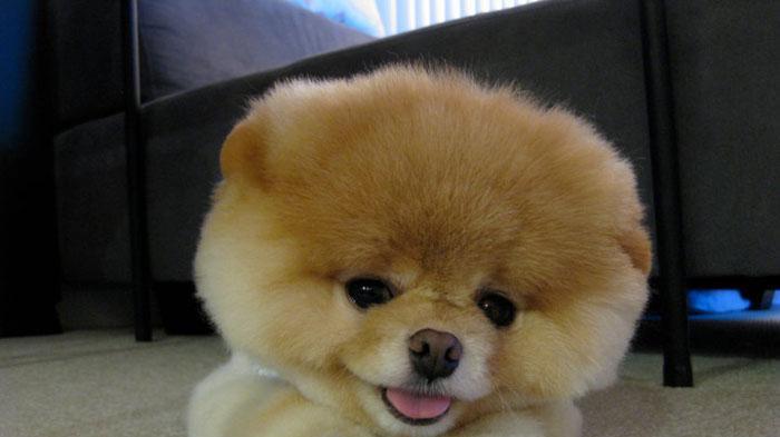 סנסציוני הכלב בו: האם הפומרניאן בן ה-5 הוא הכלב החמוד בעולם? - וואלה! חדשות IP-08