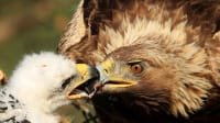 A golden eagle feeds its chick on their nest in the remote marsh near the village of Konny Bor, some 270 km (168 miles) northeast of Minsk, June 10, 2011. Photo taken June 10, 2011. REUTERS/Vasily Fedosenko (רויטרס , Vasily Fedosenko)