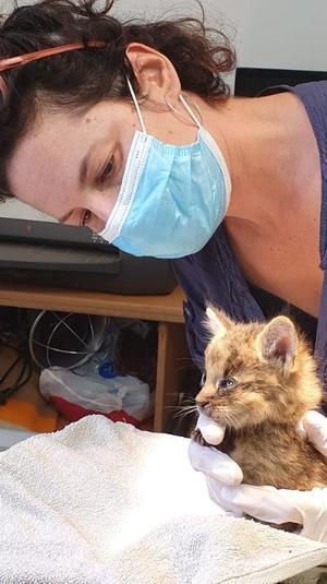 חתול ביצות מטופל מרכז האיקלום לחיות בר באגמון החולה