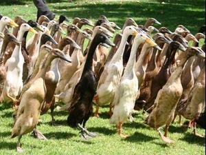 סיפור בדקה חדשות - ברווזים