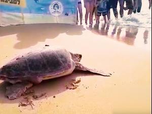 מור ועוז צבות הים שבו לטבע  שתי צבות ים שטופלו במרכז הארצי להצלת צבי ים של רשות הטבע והגנים במכמורת שבו לים