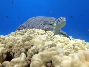 """הפתעה במפרץ אילת: צבת ים ירוקה שנחשבת מין בהכחדה נצפתה בחוף קצ""""א. רשות הטבע והגנים"""