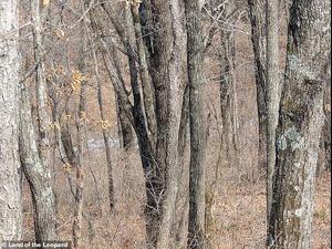 נמר מסתתר בתמונה