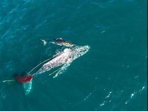כרישה תוקפת לוויתן