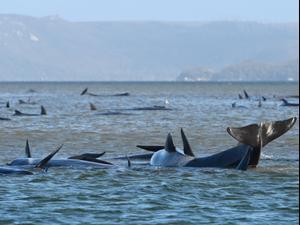 כוחות ההצלה באוסטרליה: שליש מהלוויתנים שנסחפו לחופי טסמניה מתו  22.9.20