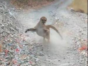 פומה רודפת אחרי מטייל