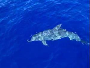 לראשונה: דולפין שהותקף על ידי כריש אותר בישראל 28.10.2020