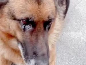 כלבה שפרשה מהמשטרה בוכה במפגש עם המפעיל שלה. BWBD/Douyin, צילום מסך