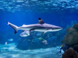 """כריש באקווריום ישראל בגן החיות התנ""""כי בירושלים. אקווריום ישראל, יח""""צ"""
