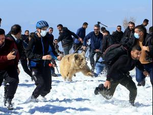 דובים שששוחררו לטבע תקפו בני אדם. Ari Jalal TPX, רויטרס