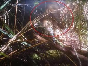 האם זה תיעוד של זאב טסמני?. Thylacine Awareness Group of Australia, אתר רשמי