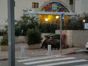 בעיית חזירי הבר ברחובות חיפה מחמירה: לראשונה תתכנס מועצת העיר לדון בנושא 14.03.21. שלומי גבאי, יואב איתיאל, אתר רשמי
