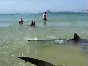 למרות האזהרות: מתרחצים שוחים עם כרישים סמוך לתחנת הכוח בחדרה 19.4.21. רשות הטבע והגנים