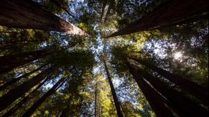 עץ סקויה, יער מיור, קליפורניה. ShutterStock