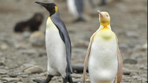 הפינגוון המלכותי הצהוב הראשון שנצפה אי פעם. YVES ADAMS/KENNEDY NEWS, אתר רשמי