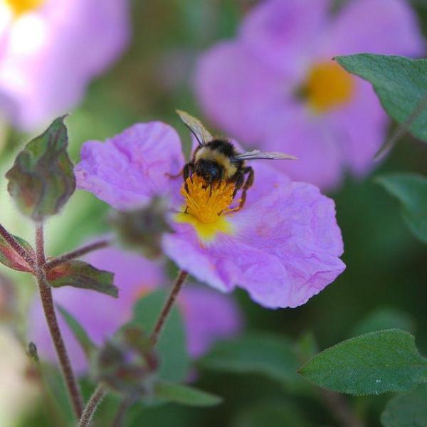 """פרחי לוטם שעיר פורחים באביב. ד""""ר רחלי עינב,"""