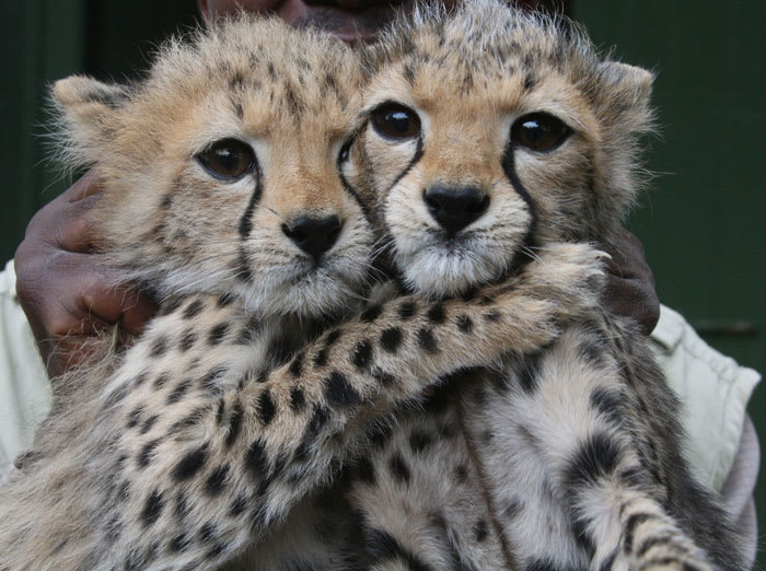 3-month old female Cheetah cubs at the Nairobi Orphanage in Nairobi, Kenya, Monday, June 6, 2011. The two Cheetah cubs were abandoned by their mother, in Tsavo East , South of Nairobi, and were brought to the orphanage when they were one-month old, where (AP)