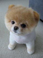 מקורי הכלב בו: האם הפומרניאן בן ה-5 הוא הכלב החמוד בעולם? - וואלה! חדשות KX-86