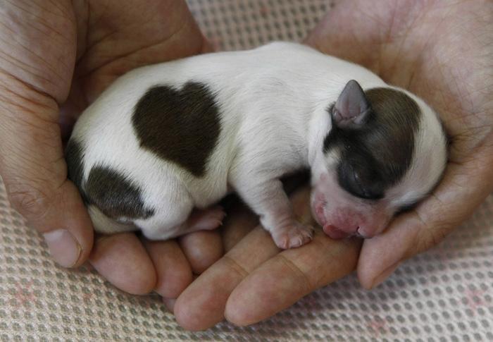 צעיר ביפן נולד כלב צ'יוואווה נדיר עם כתם של לב על גבו - וואלה! חדשות CQ-46