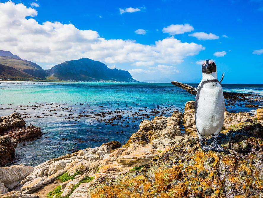 פינגווין בחוף בולדרס הסמוך לעיר קייפטאון, דרום אפריקה